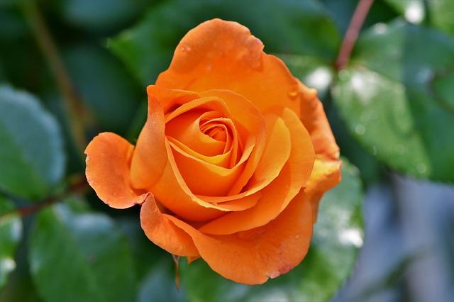 oranžový květ růže